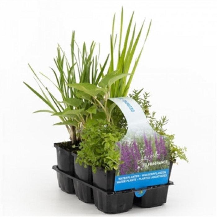 Plantes oxygenantes en pack de six (emballé par 2 pièces) 30020