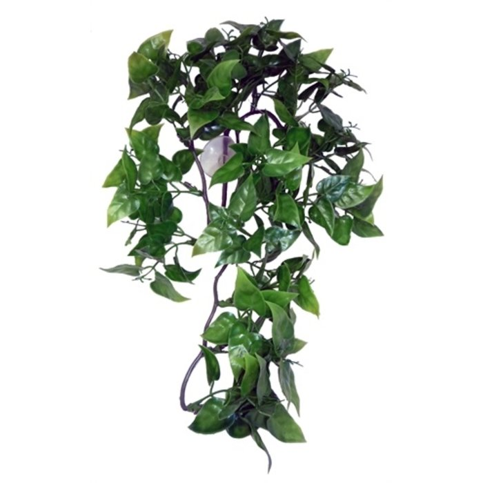 Komodo philodendron plant