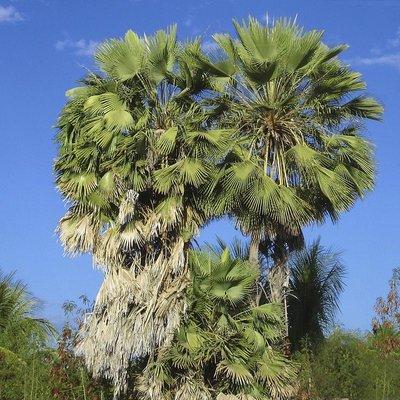 Alteya Organics Biologische Carnauba Was 120g