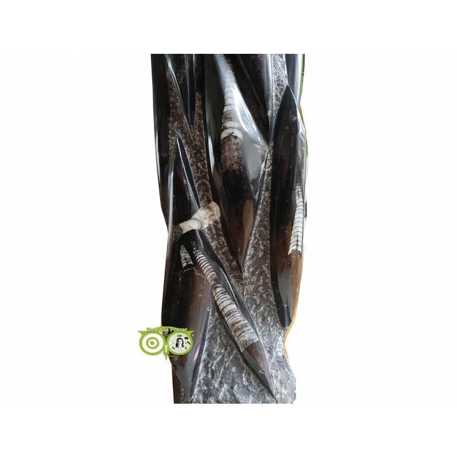 Orthoceras sculptuur 10.5 kilogram-2