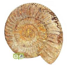 Fossielen kopen | Goniatiet | Ammponiet | Cleoniceras | Edelstenenwebwinkel - Webshop Danielle Forrer