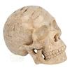 Fossiel koraal schedel  Nr. 199 - 721 gram