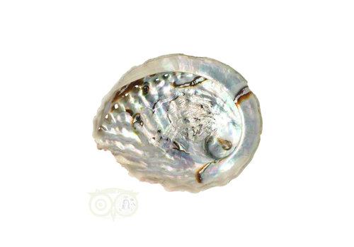 Abalone Schelp Medium Nr 11