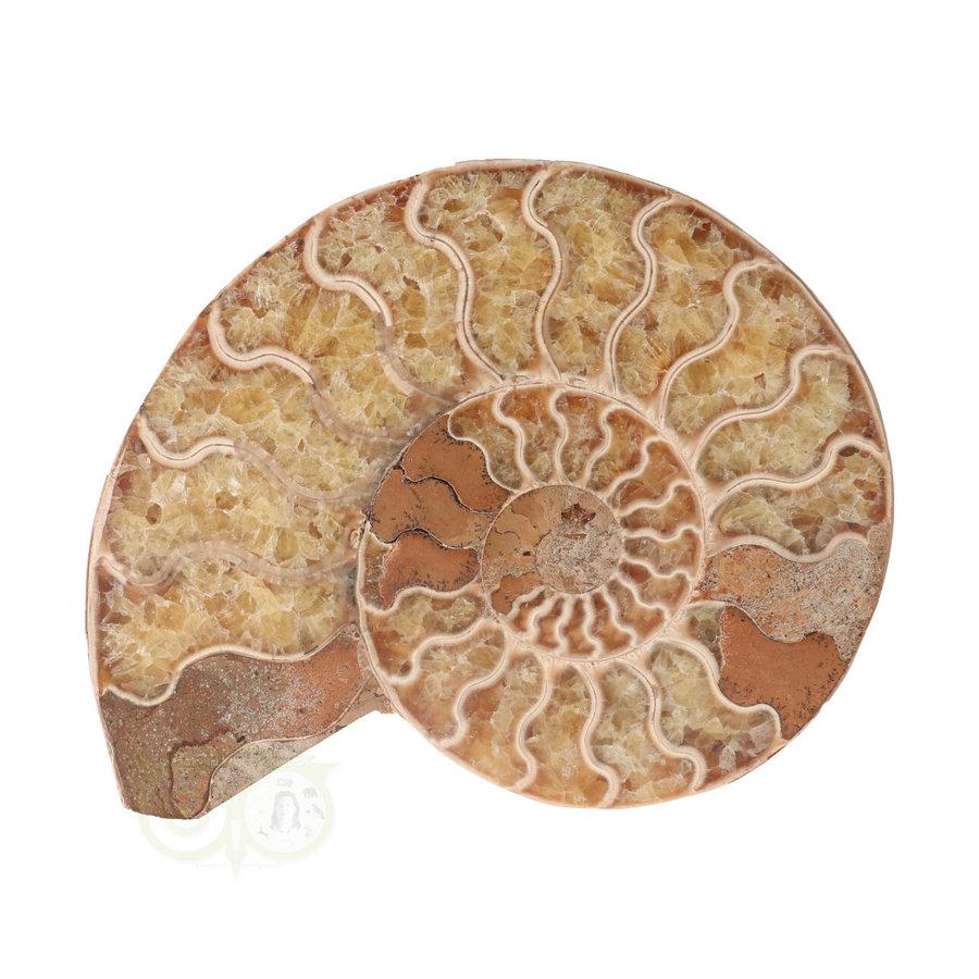 Ammoniet Fossiel paartje Nr 34 -372  gram-2