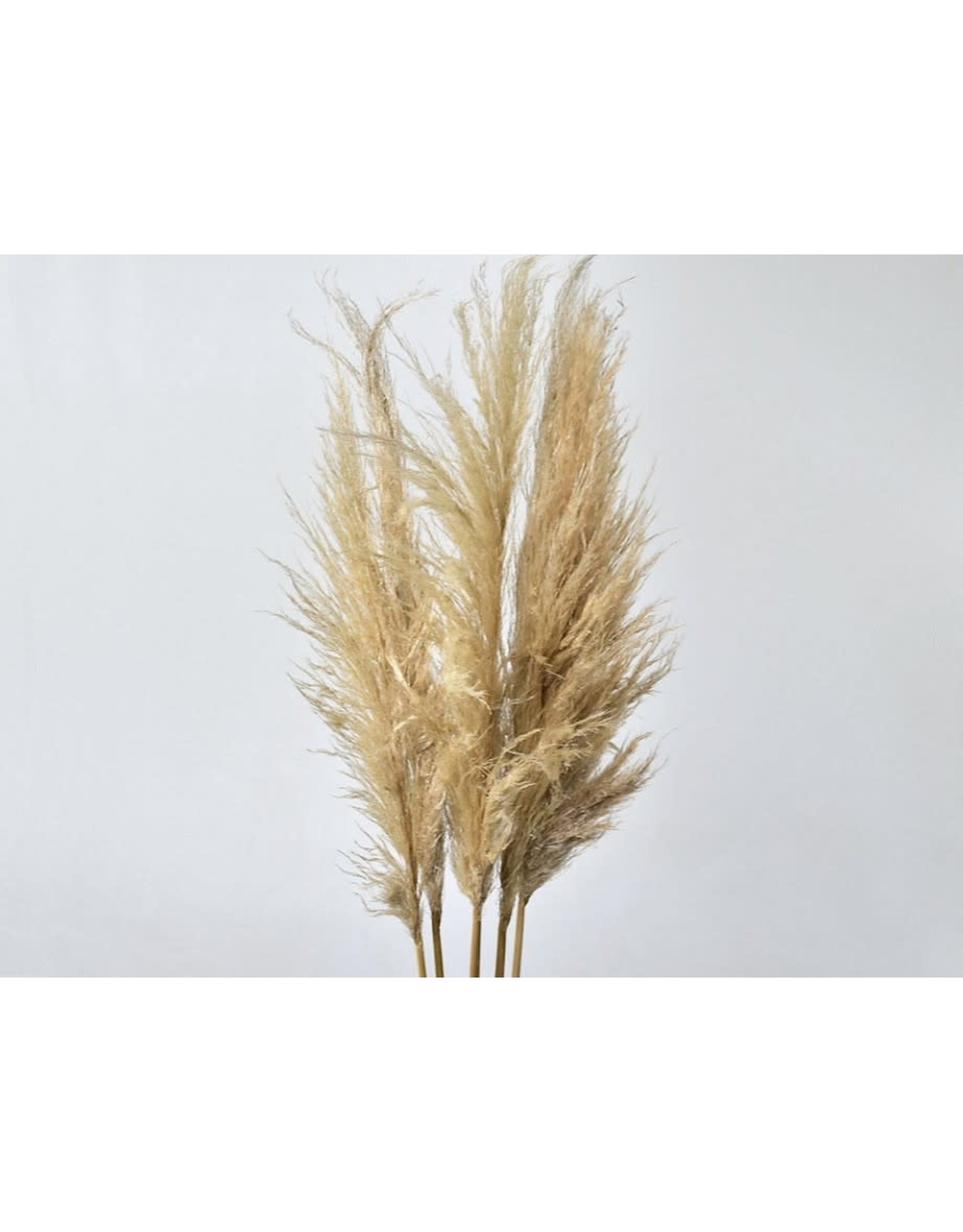 PAMPAS GRASS 90-110 CM