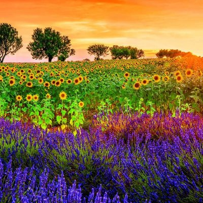 Educa 1500pcs - Field of Sunflowers & Lavender Puzzle