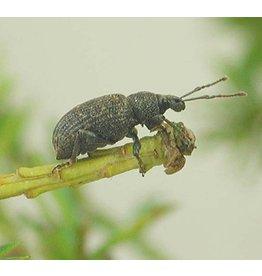 Brimex Biobest Taxuskever bestrijden met aaltjes