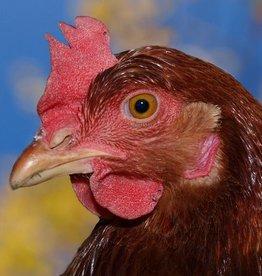 Brimex Biobest Bloedluis bij kippen bestrijden