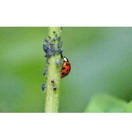 Brimex Biobest Bladluis bestrijden met lieveheersbeestje