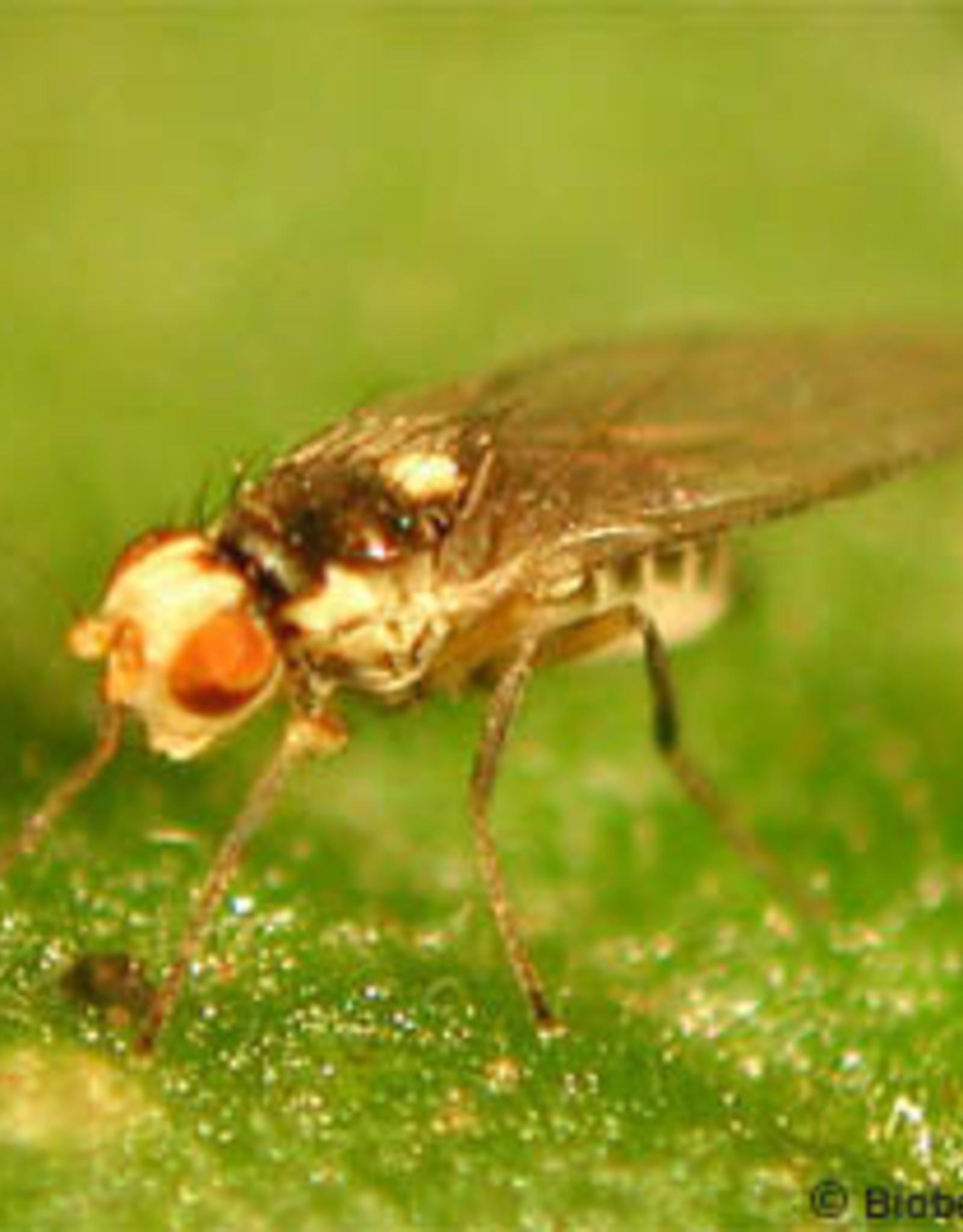 Brimex Biobest Mineervlieg bestrijden met sluipwesp Diglyphus Isaea