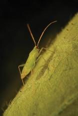 Brimex Biobest Tomatenmineermot bestrijden met roofwants Macrolophus pygmaeus