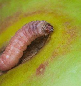 Brimex Biobest Fruitmot bestrijden met Delta Trap