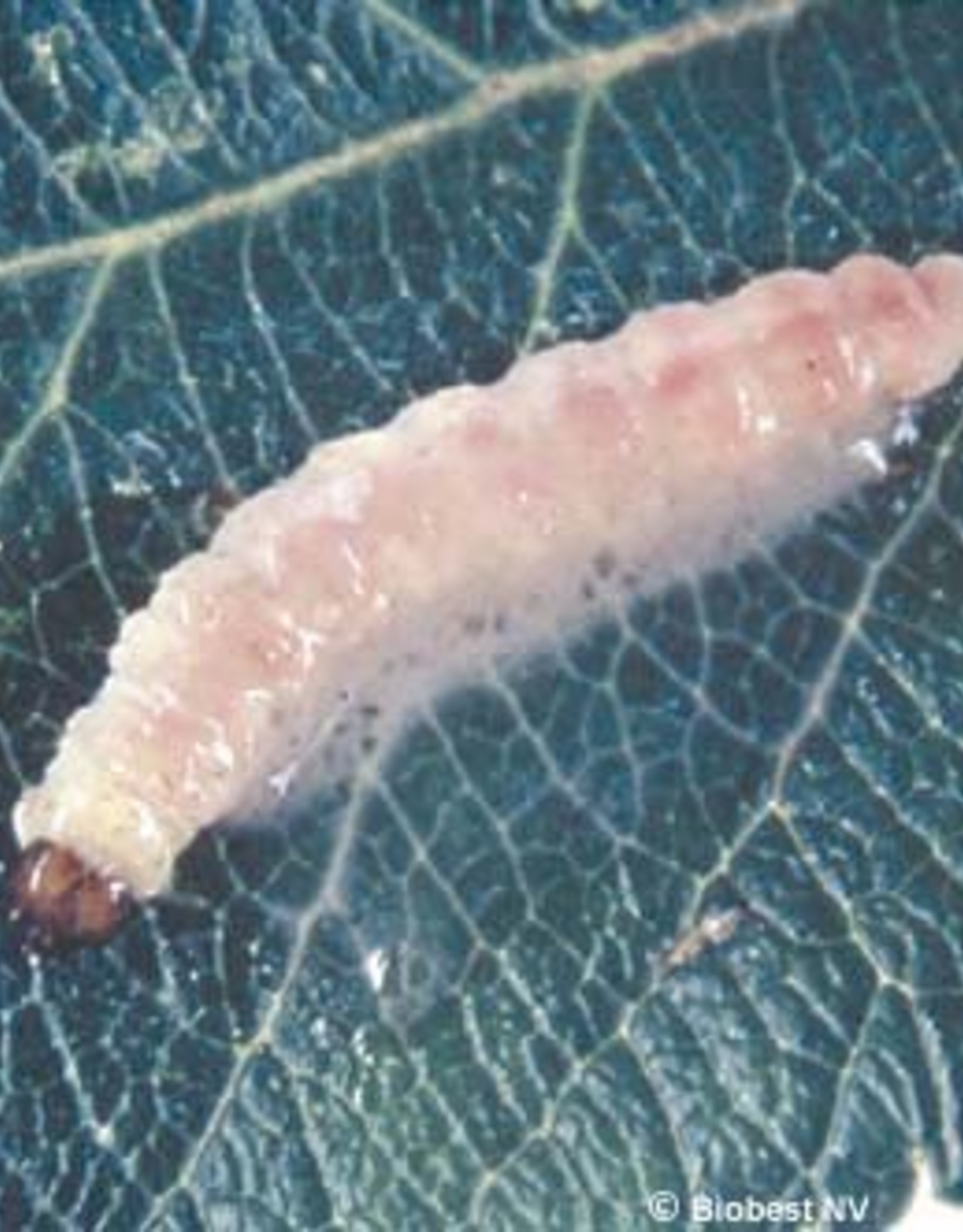 Brimex Biobest Fruitmot bestrijden met feromoonval Delta Trap