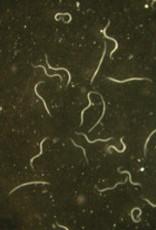 Brimex Biobest aaltjes steinernema carpocapsae
