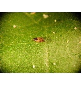Brimex Biobest Roofwants Brimex Orius laevigatus