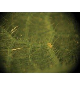 Brimex Biobest Roofmijt Brimex Amblyseius Californicus