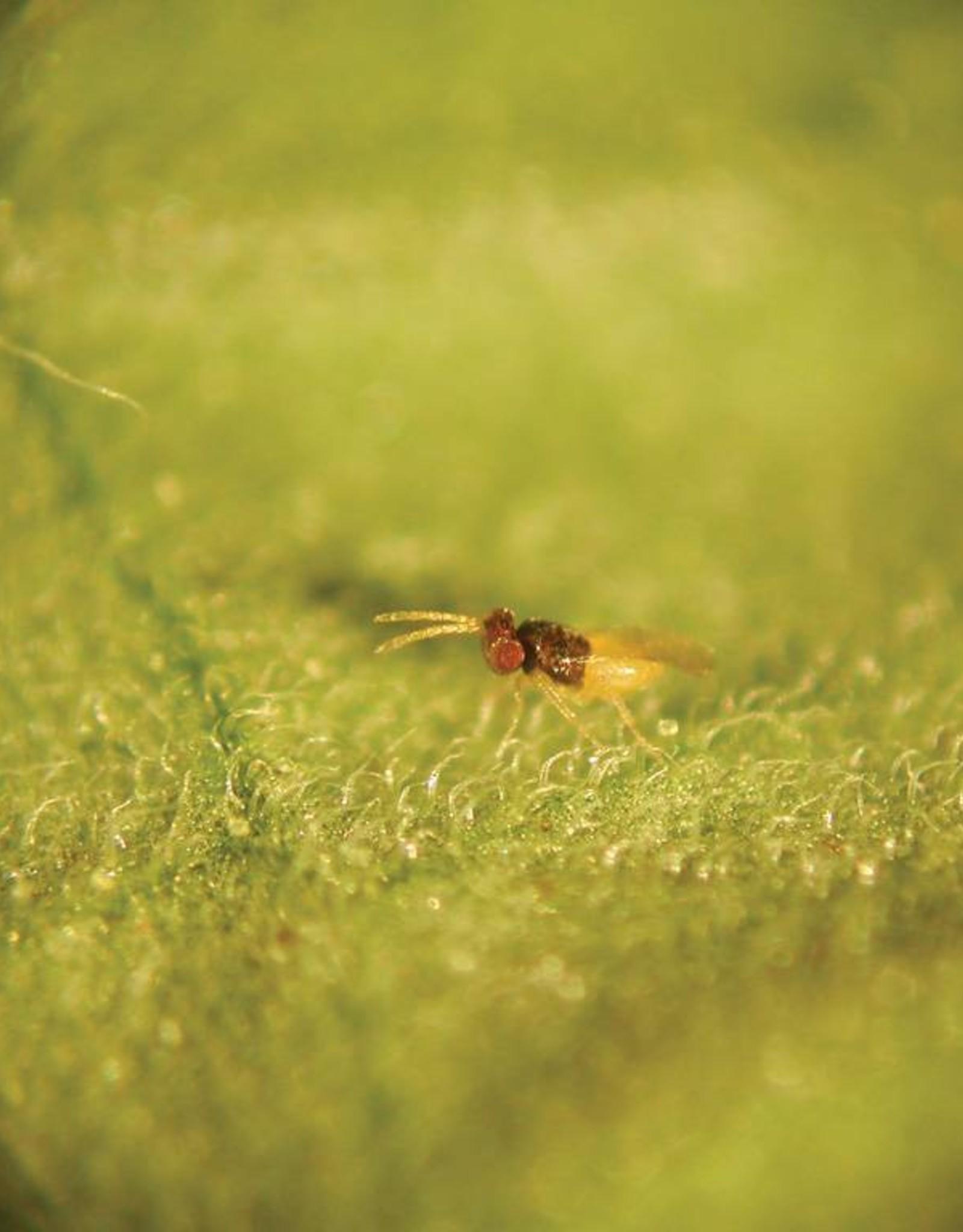 Brimex Biobest SluipwespBrimex Encarsia formosa