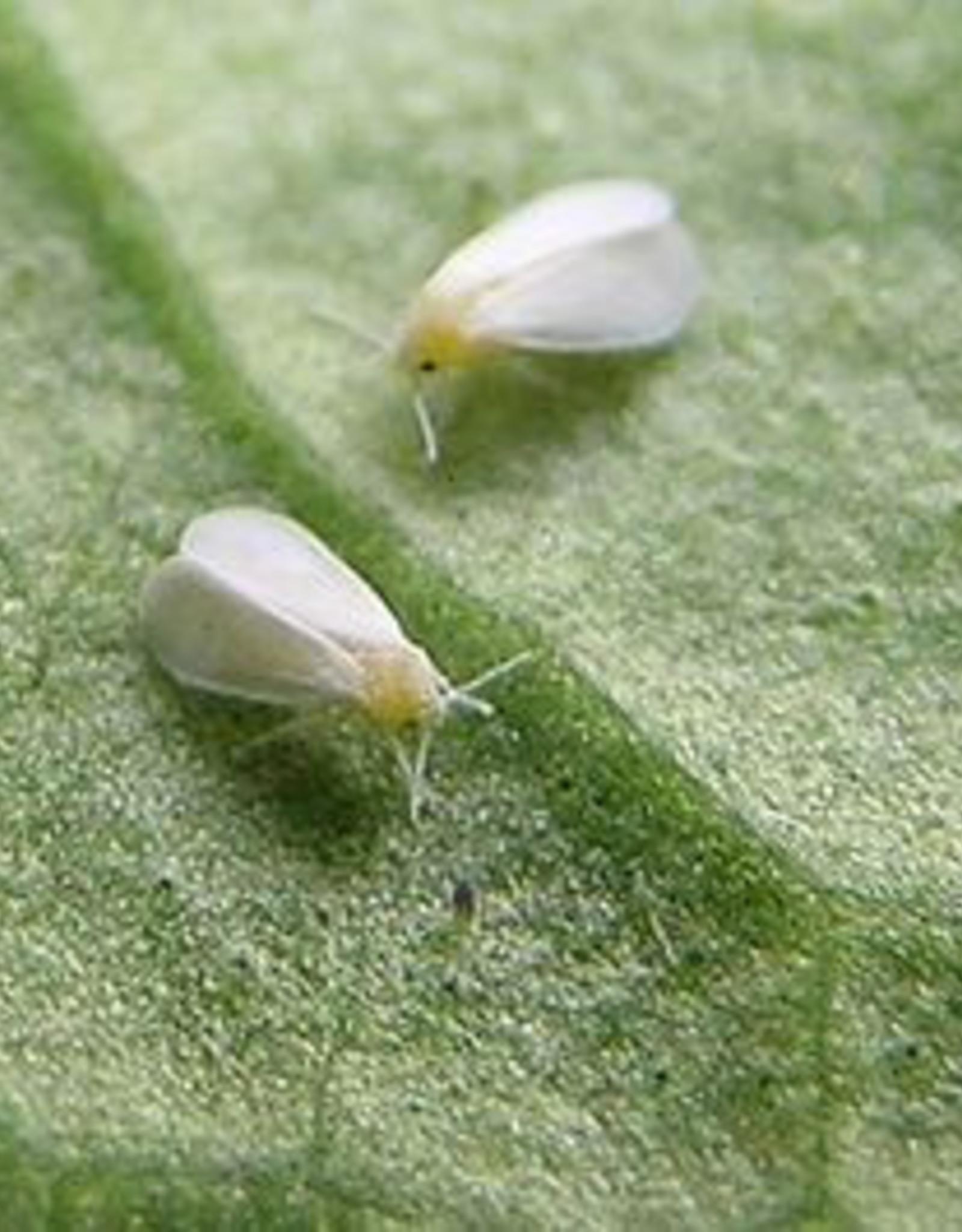 Brimex Biobest Witte vlieg bestrijden met lieveheersbeestje Brimex Delphastus system