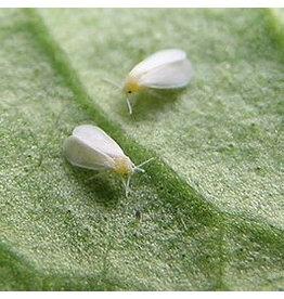 Brimex Biobest Witte vlieg haarden bestrijden met lieveheersbeestje