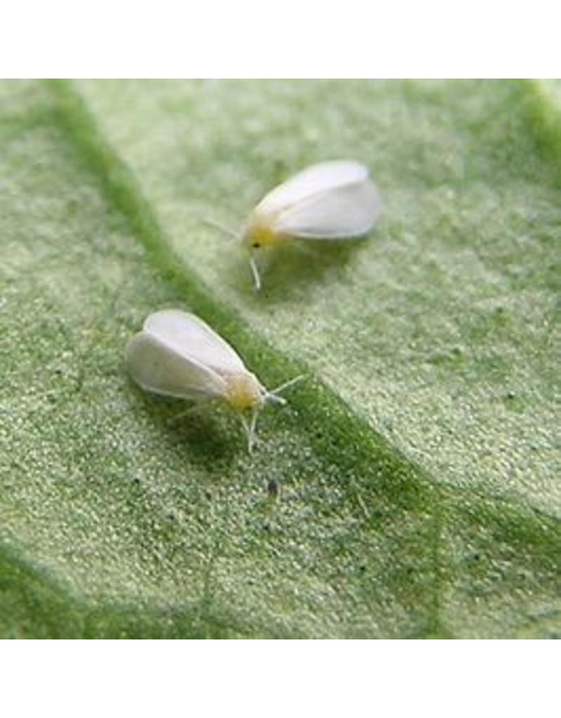 Brimex Biobest Witte vlieg bestrijden met lieveheersbeestje Brimex Delpastus system
