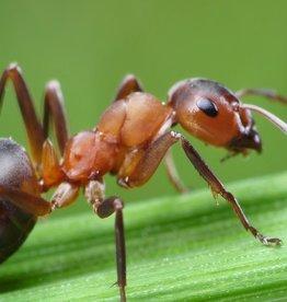 Brimex Biobest Mieren bestrijden met nematoden