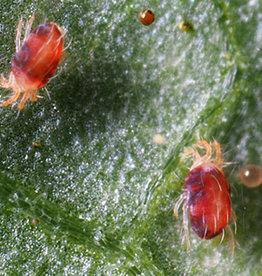 Brimex Biobest Spint bestrijden in warme +30gr. en droge omgeving met roofmijt