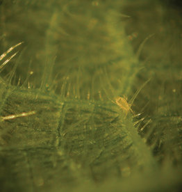 Brimex Biobest Roofmijt Brimex Californicusi Breeding System