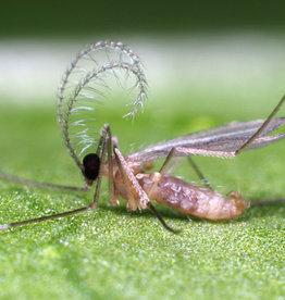 Brimex Biobest Galmug Brimex Aphidoletes aphidimyza