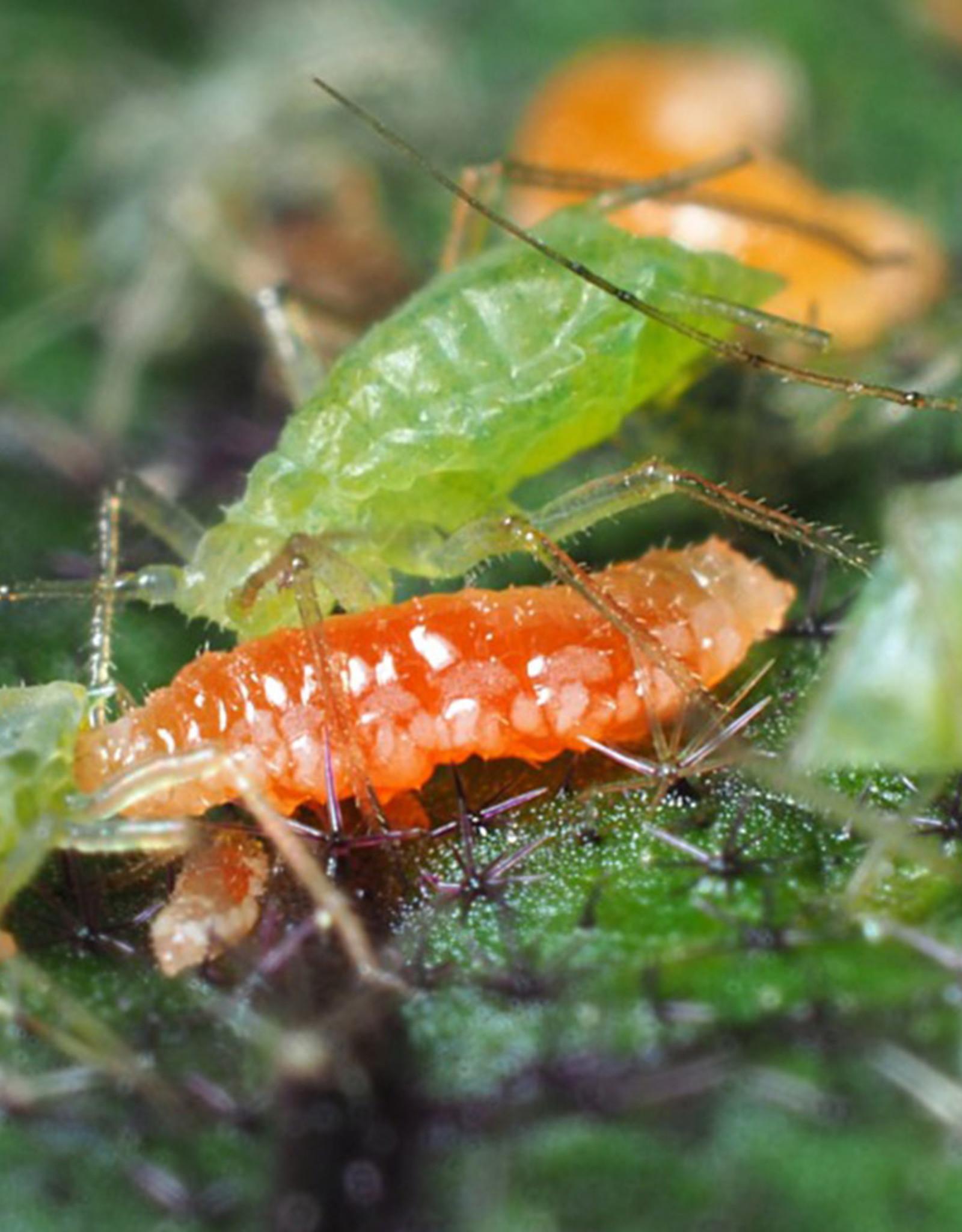 Brimex Biobest Galmug Brimex Aphidoletes aphidimyza Aphidoletes system