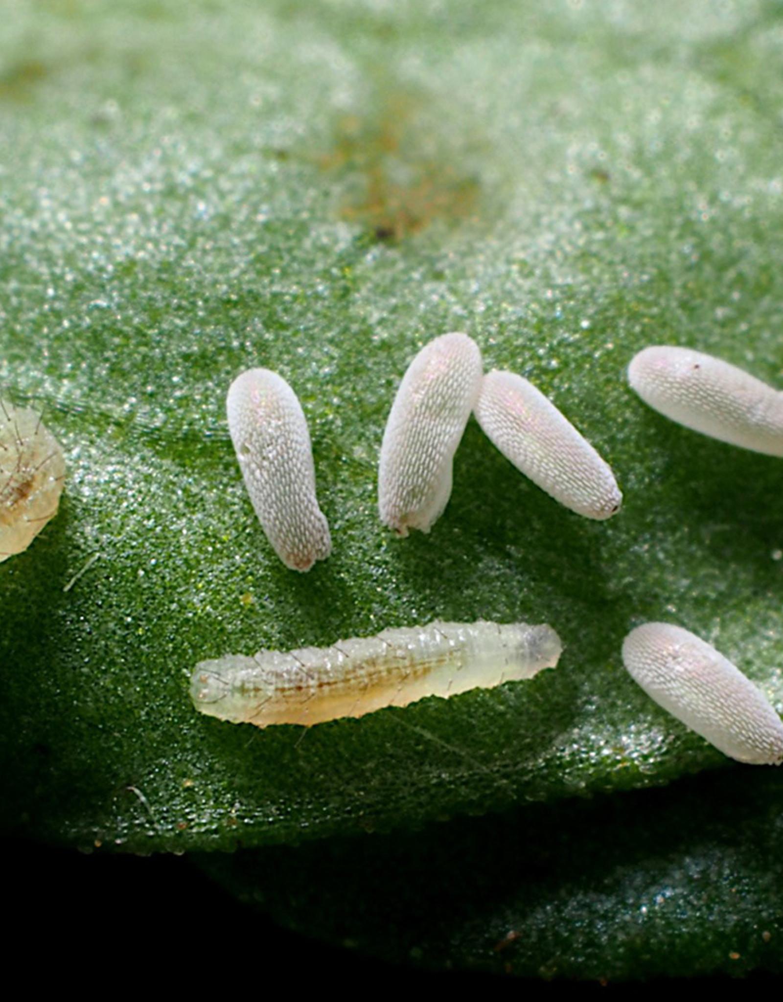 Brimex Biobest Bladluis bestrijding met Brimex zweefvlieg Eupeodes-System