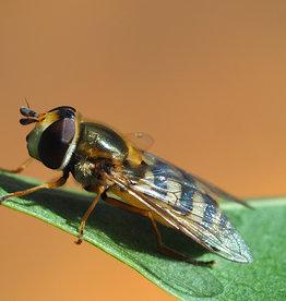 Brimex Biobest Bladluis bestrijden met zweefvlieg Eupeodes