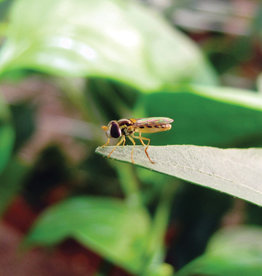 Brimex Biobest Bladluis bestrijden met zweefvlieg Sphaerophoria