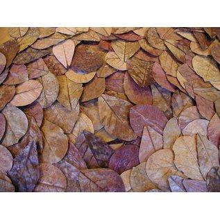 Eigen merk Catappa bladeren 18-28 cm