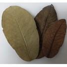 Onlineaquarium spullen Guave bladeren budget