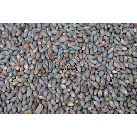 ECS 1kg Medium Cypress Pine Seed