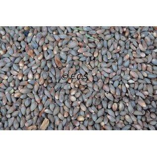 ECS 1kg Mittel Cypress Kiefer Samen
