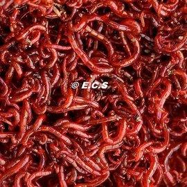 AquaDip Rode  Muggenlarven (diepvries Blister)