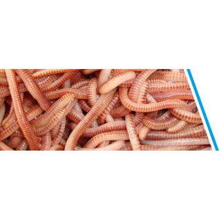 Springer wormen (Dendrobaena's)