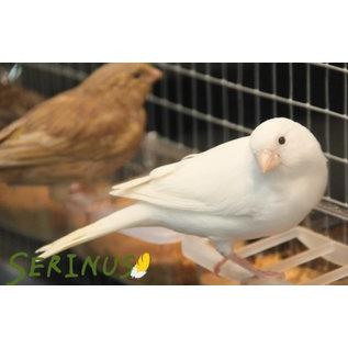 Serinus Serinus Witte Kanarie Handvoeding