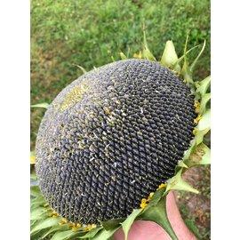 Next Level Birdfood Sunflower large fresh +/- 1 kilo