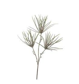 Pure Tilansia Grass