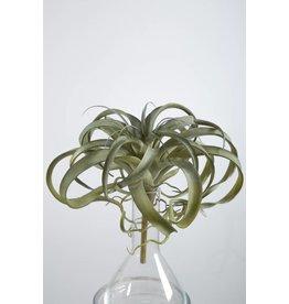 Colours and Green Tillandsia plant 30 cm