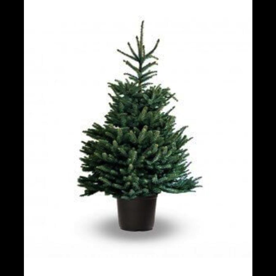 Kerstboom - Picea Omorika - Met Kluit - 150cm-1