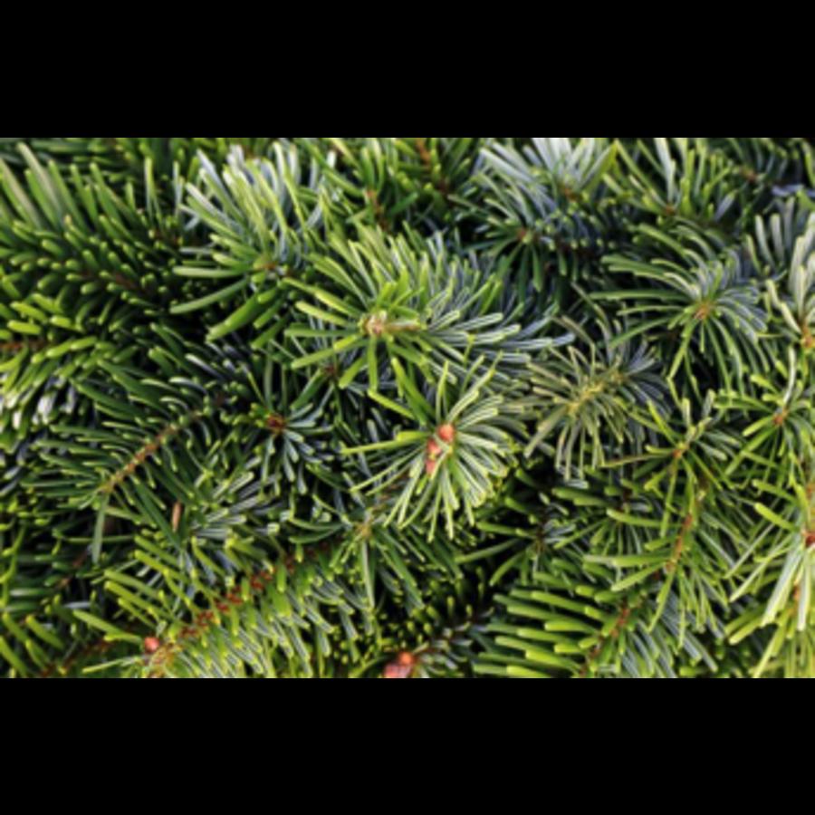 Kerstboom - Nordmann - 175 cm - Online - Kopen-2