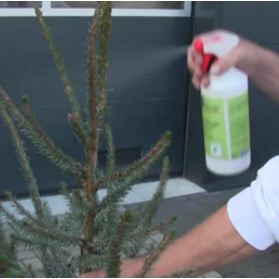 Kerstboom - Picea Omorika  - 175cm - Vers Gekapt-6