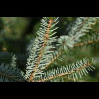 thumb-Kerstboom - Picea Omorika - Met Kluit - 150cm-2