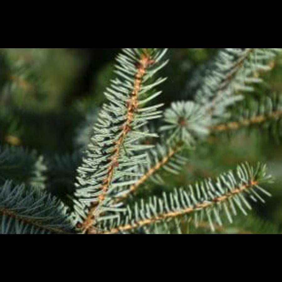 Kerstboom - Picea Omorika - Met Kluit - 150cm-2