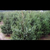 thumb-Kerstboom - Picea Omorika - Met Kluit - 150cm-3