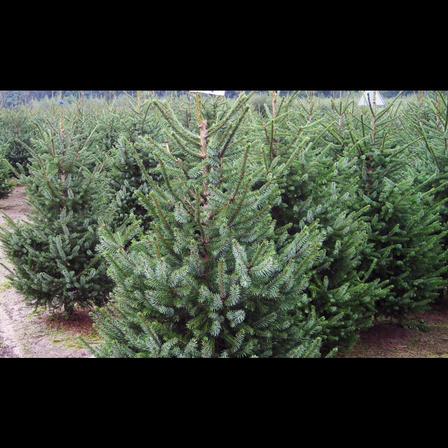 Kerstboom - Picea Omorika - Met Kluit - 150cm-3