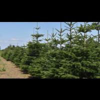 thumb-Kerstboom - Nordmann - 175 cm - Online - Kopen-5